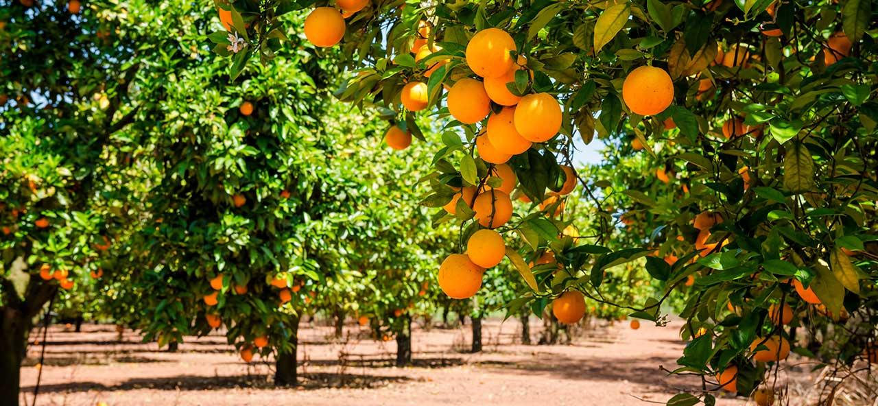 """Confirmamos: La naranja valenciana es """"la mejor del mundo"""""""